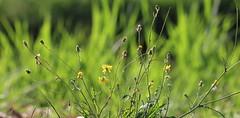 Wiese im Sommer (Klaus R. aus O.) Tags: summer green grass sommer meadow wiese gras grn tender zart blumenwiese
