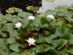 P7271485 Seerosen (fotoculus) Tags: flowers flores fleur germany deutschland flora blossoms blumen alemania baden allemagne germania alemanha duitsland weinheim blüten badenwürttemberg seerosen hermannshof
