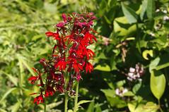 Cardinal Flower (Lobelia cardinalis) (Thomas W Gorman) Tags: wild flower cardinal lobelia cardinalis rockawaytwspnj egbertpond pentaxkxdslr124mp tamronaf90mmf28dispam11macrolensforpentaxdigitalslrcamerasmodel272ep
