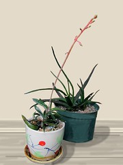 Gastaria and Aloe (dog.happy.art) Tags: aloe gasteria plant plants succulent succulents bloom blooms blooming flower flowers flowering pottedplant