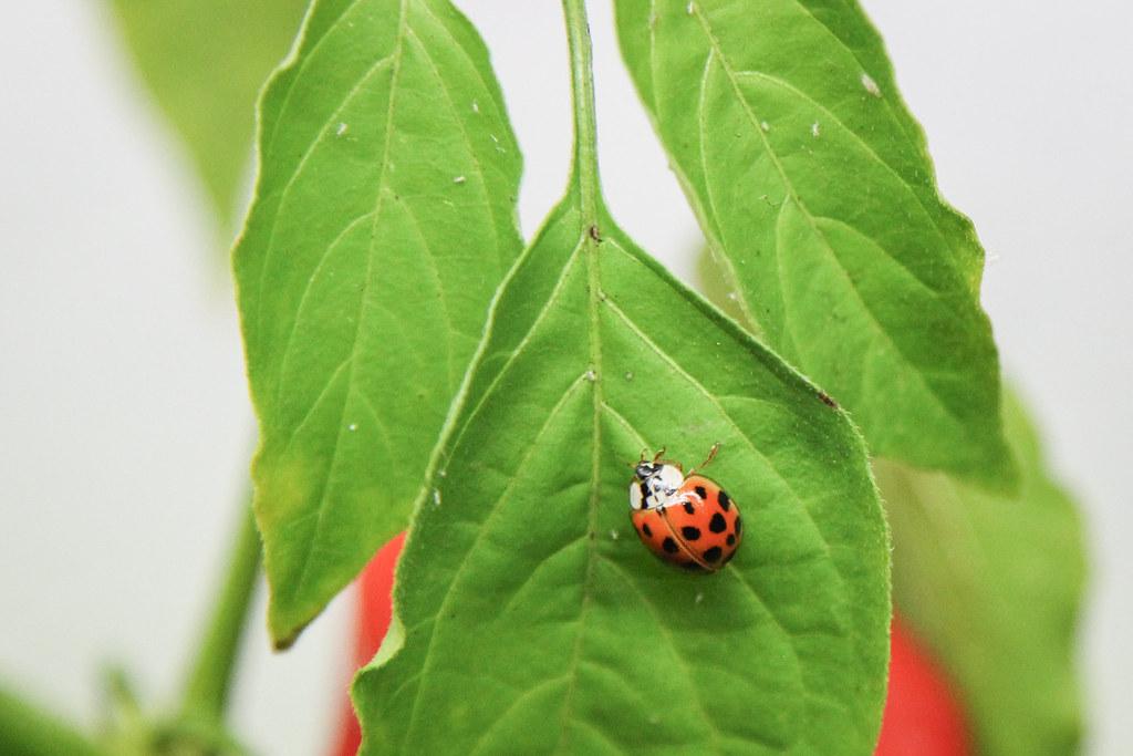 the world 39 s best photos of pest and plants flickr hive mind. Black Bedroom Furniture Sets. Home Design Ideas