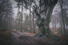 alte Buche (Diana Klawitter) Tags: buche jasmund nationalpark sassnitz