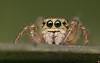 Icius sp (Rinaldo R) Tags: 51 5x aracnide aranae canonmpe closeup handheld jumper jumpingspider macro ragno salticidae spider stack focusstaking animale iciussp
