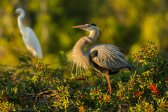 Puffing it up {Explored} (ChicagoBob46) Tags: greatblueheron heron bird veniceareaaudubonsocietyrookery rookery florida nature wildlife explore explored