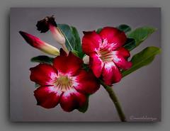 ADENIOS. (manxelalvarez) Tags: adenios rosasdodeserto adeniumobesum flores flora floresrojas