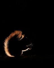 Red squirrel (Mike Mckenzie8) Tags: sciurus vulgaris scotland scottish britain british uk highland cairngorm pine forest needle bark black background mammal climbing wild wildlife rim lighting