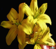 Yellow,fun and exciting to be around. (zairakhan) Tags: flowers yellow bouquet indoor blackbaclground