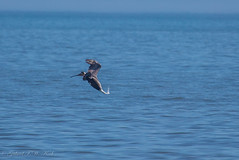 Pelican Strikes (Gabriel FW Koch) Tags: animal outdoor bird water outside ocean telephoto canon sea aquaticbird wild dive wildlife bokeh blue sky horizon depthoffield wow awesome timing