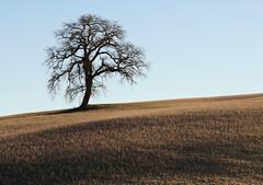 Single tree (hbothmann) Tags: baum tree cretesenesi toskana tuscany toscana landschaft planar8514za træ arbre वृक्ष albero 木 drzewo árvore 树 árbol