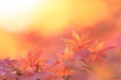 in our dream (hitohira_) Tags: flower flowers nature bokeh leaves maple