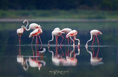 Greater Flamingo (Wasif Yaqeen) Tags: greaterflamingos greaterflamingosinpakistan flamingosinpakistan flamingosinkhabeki 500mm canon500mmf45 canon1dmarkiv 1dmarkiv telelens nature wildlife birds birdsofpakistan pakistanwildlife wildlifeofpakistan animals pakistannature wasifyaqeen wasif animalplanet nationalgeographic outdoor birdsinnaturalhabitat birdshabitat pakistan wasifyaqeenphotography