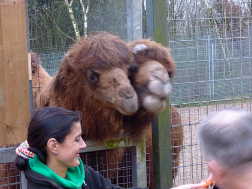 South Lakes Zoo - feeding the bactrian camels