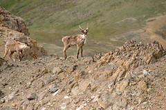 Male and Female Caribou Crossng (jpmckenna - Tenquille Lake Up Next) Tags: alaska denali denalinationalpark landscape unit11 backpacking getoutside mountain caribou unit12