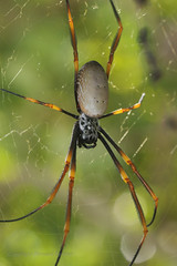 Garden Ord-Weaver (Howard Ferrier) Tags: seq web spider goldenorbweaver sunshinecoast arachnid tree australia oceania queensland happyvalley caloundra arthropod invertebrate flora nephilaplumipes