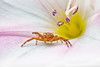 high five! (rian.krenzer) Tags: bokeh summer colorful macro crabspider detailed flower spider insect sunny closeup animal