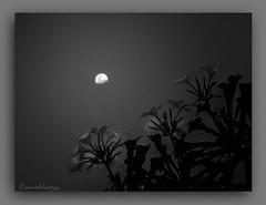 XASMINS  E  LÚA. (manxelalvarez) Tags: luna xasmins jazmines noche flores flora