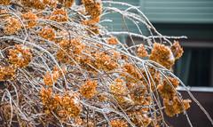RAIN + COLD = ICE (Dotsy McCurly) Tags: smileonsunday iceday rain cold ice icy treehydrangea winter yard nature beautiful nikond750 nj newjersey