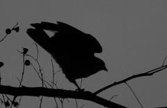 Tiuque (ando083) Tags: ave chile tiuque naturaleza nature
