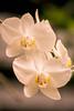 Elle a l'air de vouloir dire quelque chose III (Josué Godoy) Tags: flor flower fleur nature naturaleza australia blanco blanc white