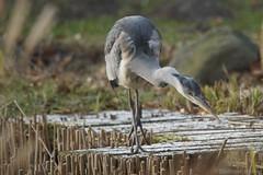 Graureiher (CHWVB) Tags: heron reiher