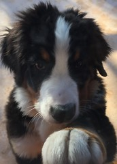 playdate swisskiss 2017 knuckles brown white black paw knock animal pet dog bernese morty viewroyal