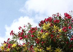Bajo un cielo azul (leograttoni) Tags: naturaleza nature planta flor flower cielo sky nube cloud airelibre laplata buenosaires