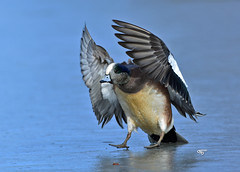 DB7_5812 (DouglasJBrown) Tags: djbphotocom ducks ice reifel birdsinbc nature nikonafsnikkor300mmf28gedvrii wings