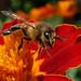 Bee leaving flower - 2013-08-11
