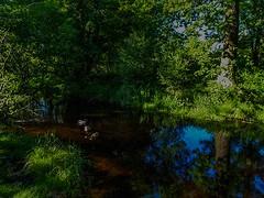 3 stoogies (NoOneLikeMe78) Tags: trees reflection water animals reflections landscape scotland sony ducks reflect lochlomond ballochcountrypark marilynconnor