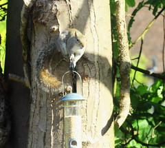 Bird Feeder Robber casing the joint (jdathebowler Thanks for 4.5 Million + views.) Tags: mammal rodent greysquirrel sciuruscarolinensis naturescall