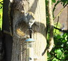 Bird Feeder Robber casing the joint (jdathebowler Thanks for 1.5 Million + views.) Tags: mammal rodent greysquirrel sciuruscarolinensis naturescall
