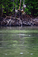 Eagle again (Atika Safira Herman) Tags: green nature animal fauna eagle mangrove langkawi