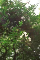 Koramangala (Suneha-Hameed) Tags: flowers film k1000 bokeh bangalore pentaxk1000 karnataka filmphotography filmisnotdead kodakcolorplus200