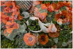 shell | poppy | MultiArt one (John FotoHouse) Tags: color colour art june flickr fuji yorkshire leeds shell poppy johndolan multiexposure dolan 2015 leedsflickrgroup leedsflickr johnfotohouse yorkshirephotographer copyrightjdolan yorkshirebasedphotographer fujifilmx100s