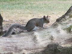 Sutton Squirrel (zoekay) Tags: park nature birmingham squirrel wildlife suttoncoldfield suttonpark outsidespaces