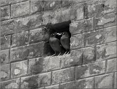 IMG_4939 (Protik Khan) Tags: bird love kiss couple starling romance myna
