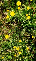 #golden #little #flowers growing in #mygarden #fiorellini #dorati #simple but #precious ^-^ (kiara.micio) Tags: flowers golden little precious mygarden simple fiorellini dorati