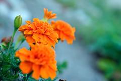 2015-07-16 20-44-40 (Sergey Ryazantsev) Tags: summer orange green colors closeup garden petals backyard colorful blossom bokeh bloom softfocus lifeform bud marigold flowersplants