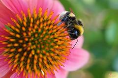 abaille et fleur rose au coeur orange (laurentmorand) Tags: flower macro nature fleur plante garden photo jardin insecte morand abaille