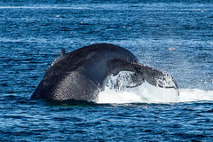 2015 July Cape Cod the power of the humpback (quiinc) Tags: capecod whales whalewatch barnstable hyanniswhalewatch capecodwhalewatch