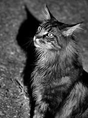 Haribo B&W (Nemodus photos) Tags: blackandwhite cat chat noiretblanc mainecoon fz1000
