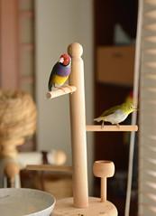 DSC_7868 (Jenny Yang) Tags: pet bird lady finch gouldian
