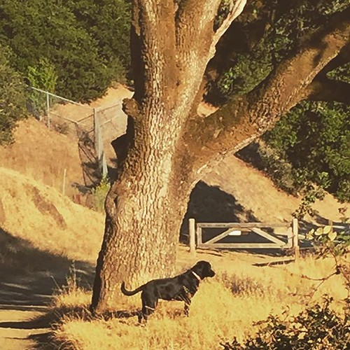 #hiking #blacklab #nature #caliliving