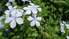Flores Violetas (Raul Vinícius) Tags: 紫 花 violetas flores violet flowers