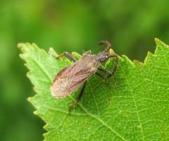 Coriomeris denticulatus - Snitterfield Bushes, Warwickshire 2016b (Steven Falk) Tags: coriomeris denticulatus denticulate leatherbug steven falk