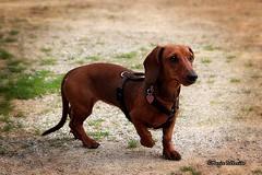Penny! :-) (Mario Pellerito) Tags: canon eos 60d 18135 palermo palerme sicilie sicily bassotto penelope penny pet puppy dog allaperto animale domestico cane