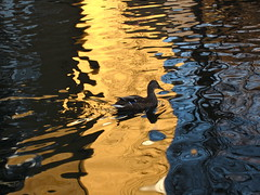 Swimming on Fire (andressolo) Tags: duck bird birds aves pato swim colours colour colors water canal london animal animals reflections reflect reflected reflejos reflejo reflection ripples distortion distortions distorted