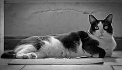 La Emperatriz (Egg2704) Tags: gato gatos cat cats pet pets mascota mascotas tola felino animal animales naturaleza naturalia egg2704