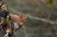 red squirrel (ben cairns) Tags: redsquirrel isleofwight nikond5200 alverstonemeadhide nikon55300 endangered inquisitive fluff cute tufts white red orange