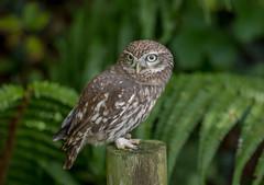 DSC4787  Little Owl.. (jefflack Wildlife&Nature) Tags: littleowl owl owls birds avian animal wildlife wildbirds woodlands gardenbirds glades parks parklands heathland hedgerows moorland marshland raptors birdsofprey countryside nature
